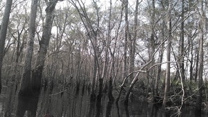 300x169 Oaks, in Alapaha deadfalls, by John S. Quarterman, for WWALS.net, 17 January 2015