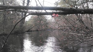 300x169 Red maple bloom, in Alapaha deadfalls, by John S. Quarterman, for WWALS.net, 17 January 2015