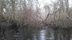 300x169 Brush, in Alapaha deadfalls, by John S. Quarterman, for WWALS.net, 17 January 2015