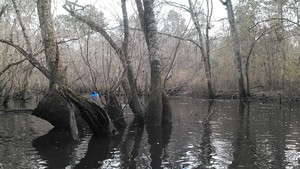 300x169 More Markers, in Alapaha deadfalls, by John S. Quarterman, for WWALS.net, 17 January 2015