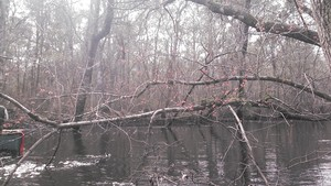 300x169 Red maples, in Alapaha deadfalls, by John S. Quarterman, for WWALS.net, 17 January 2015