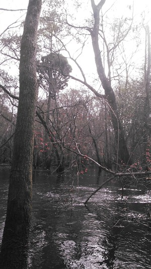 300x533 Red maple blooms and odd bushy pine, in Alapaha deadfalls, by John S. Quarterman, for WWALS.net, 17 January 2015