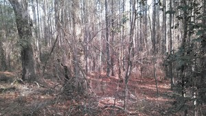 300x169 Slope to the river, in Alapaha deadfalls, by John S. Quarterman, for WWALS.net, 17 January 2015