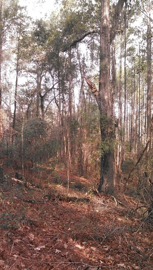 300x529 Nice tree, in Alapaha deadfalls, by John S. Quarterman, for WWALS.net, 17 January 2015