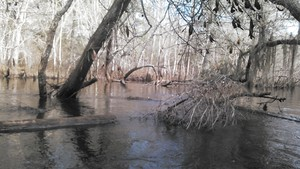300x169 Branches, in Alapaha deadfalls, by John S. Quarterman, for WWALS.net, 17 January 2015