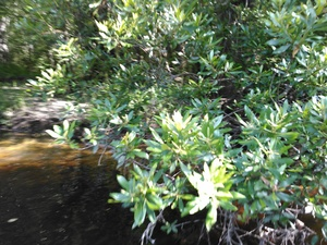 300x225 Wax myrtle, in BIG Little River Paddle Race, by John S. Quarterman, for WWALS.net, 16 May 2015