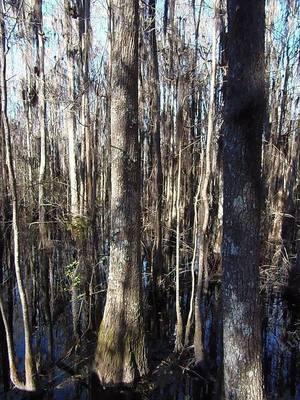 Blackgum cypress swamp