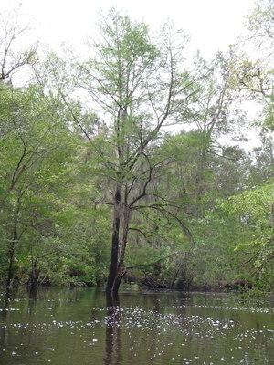 Tall twin oaks