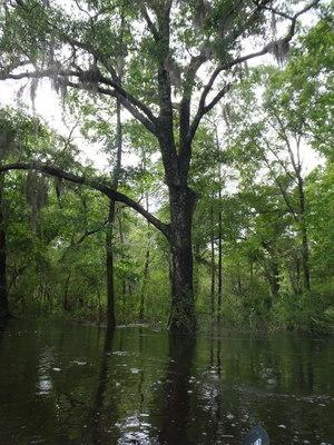 Nice oak tree