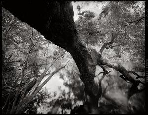 Wacissa tree