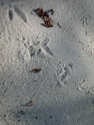 Turkey tracks