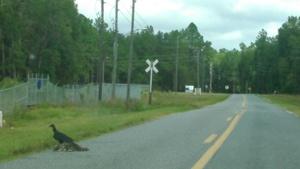 Buzzard on raccoon road kill, 30.3748550, -83.1747280