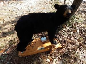 Black bear 30.7385121, -82.1400729