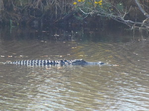Gator in water