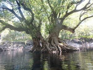 Triple tree 30.5625950, -82.7228880