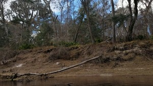 Tree knocked down by Sabal Trail, Hamilton County (right) bank, Suwannee River, 30.4073100, -83.1565580