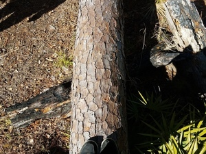 Burned below downed tree 30.8285461, -82.3345943