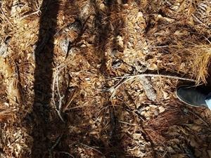 Pine straw 30.8286221, -82.3341522