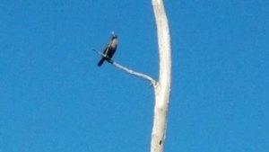Movie: Bird (hawk?) in tree (8.8M)