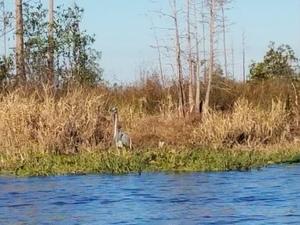 Great Blue Heron 30.8330556, -82.3572222