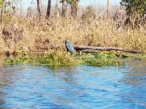 Little Blue Heron 30.8316667, -82.3600000