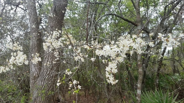 Blooming Suwannee River State Park