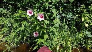 Swamp mallow closeup, 30.5833956, -83.2625654