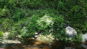 Climbing fern closeup, 30.5317100, -83.2492600