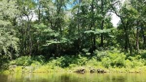 Big mimosa trees, 30.5029100, -83.2425000