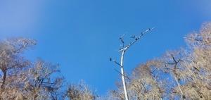 [Buzzards in tree, 13:55:44, 29.9366481, -82.7977973]