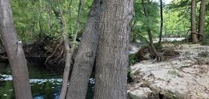 [On this tree, 2020:07:18 16:11:21, 30.2530212, -83.262022]
