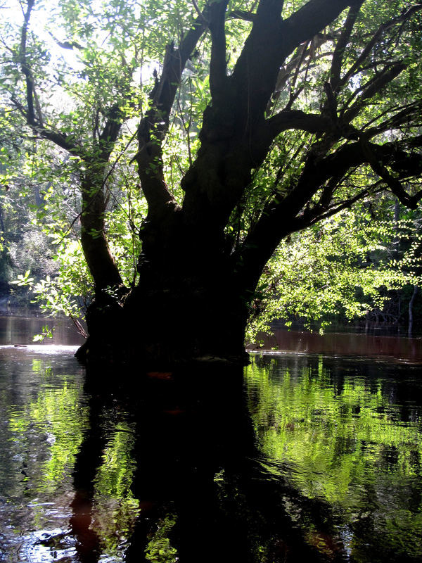 [An old Ogeechee Gum standing in the Alapaha River upstream of Sasser Landing]