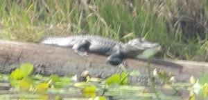 [Gator closeup]