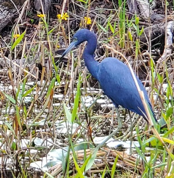 [Great Blue Heron crowned with flowers, Suwannee River, Okefenokee Swamp, 2019-12-07]