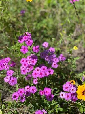 [Purple flowers by US 41 bridge]