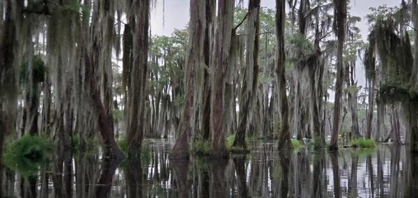 [Cypress, Spanish moss]