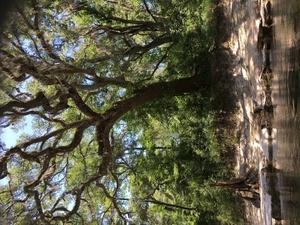 [Gnarly tree, stob, rocks, 14:09:28, 30.4109694, -83.1814889]