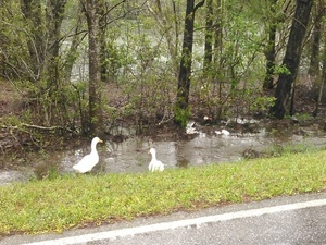 Ducks on McMillan Road 30.9552555, -83.2918930